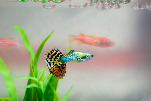 水槽や水槽、金魚、グッピーと赤魚、緑の植物と派手な鯉の小さな魚 Premium写真