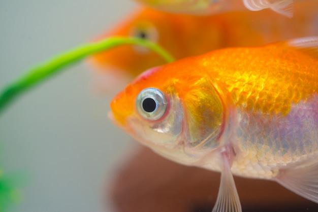 水槽や水族館の小さな、金の魚 Premium写真