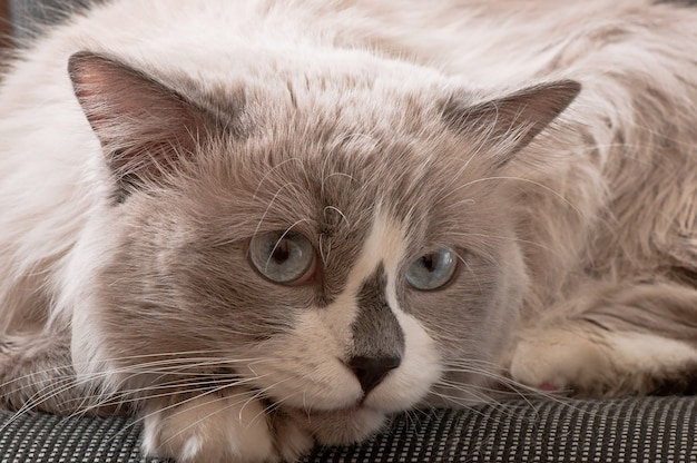 猫の顔のクローズアップのラグドール品種 無料写真