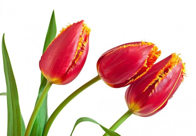 分離された赤いチューリップの春の花束 無料写真