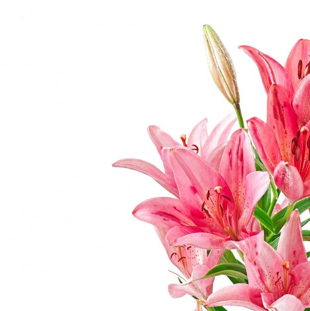美しいピンクのユリ、白で隔離 無料写真