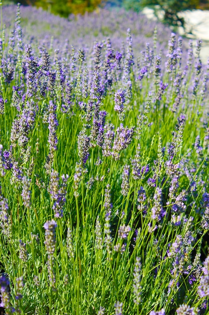 Лаванда цветы цветут летом Premium Фотографии