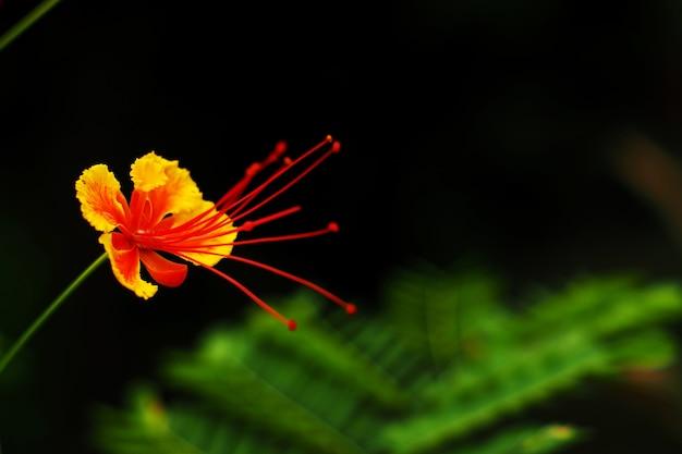 庭のデロニクスレジアフラワー Premium写真