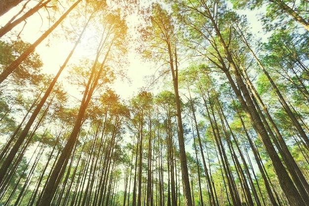 Взгляд вверх деревьев в лесе с солнечным светом. фон путешествия. Premium Фотографии