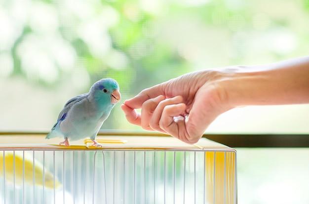 小さな青いオウムに種を供給手を閉じます。 Premium写真