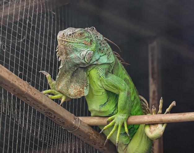 緑のイグアナ Premium写真