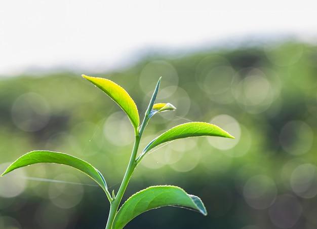 Зеленый чай молодой лист Premium Фотографии
