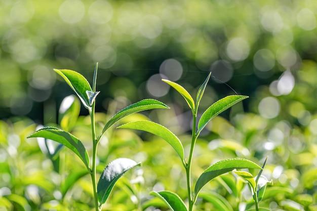 緑茶若葉 Premium写真