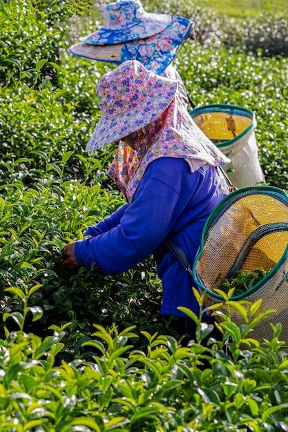 朝、チェンライ、タイの緑茶農園で働く女性 Premium写真
