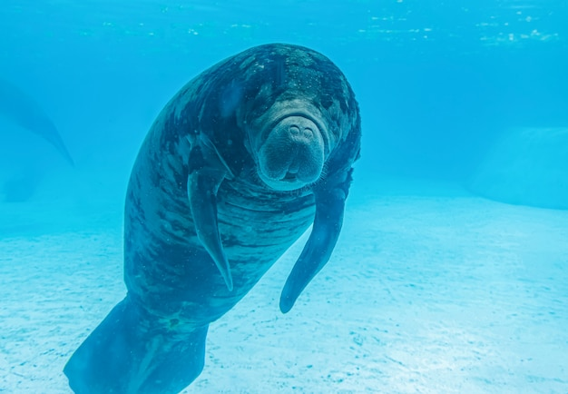 水で泳ぐマナティー Premium写真