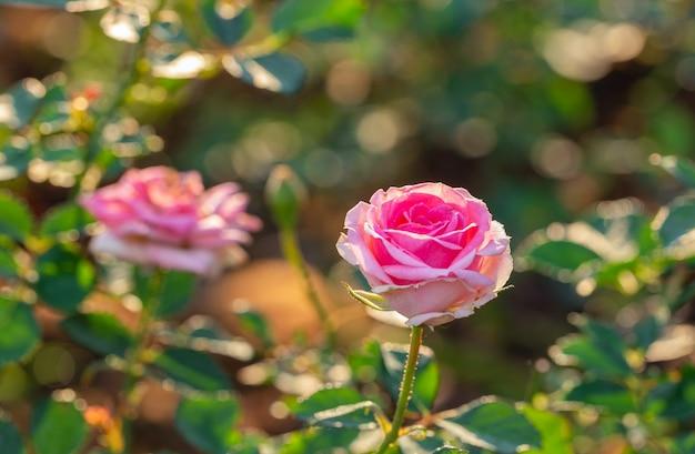 小さな庭でマルチカラーのバラ Premium写真