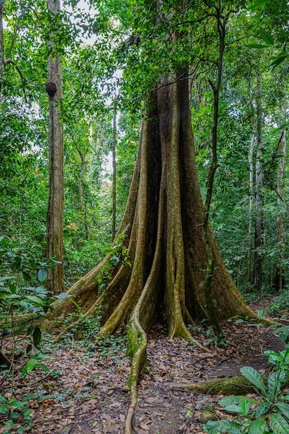 森の大きな木 Premium写真