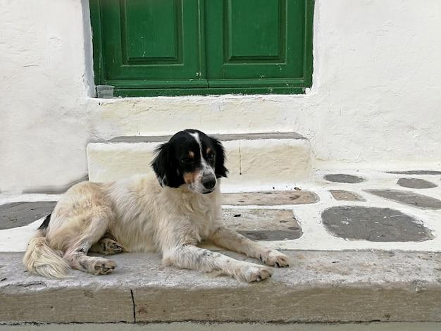 ミコノス島ギリシャの階段と緑のドアの前の床に座っている愛らしい犬 Premium写真