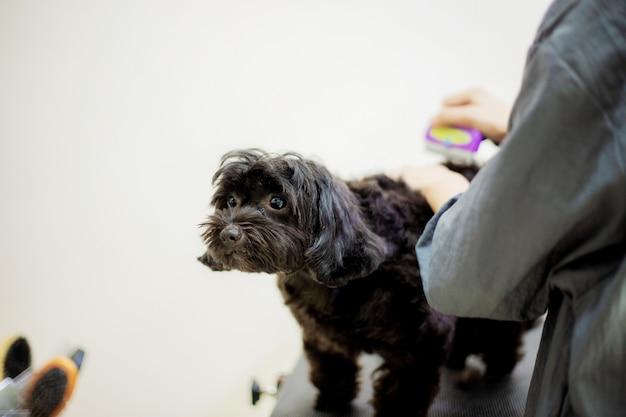 女性は犬の髪を切っています。 Premium写真