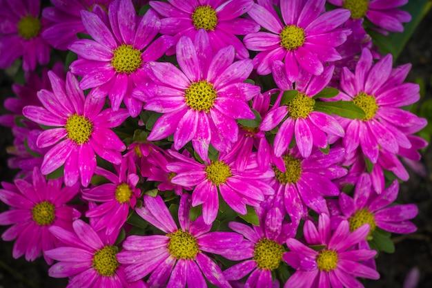 Розовые ромашки в саду крупным планом Premium Фотографии