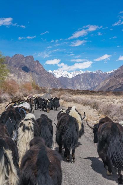インドのレーの山の風景に向かう道を歩いている野生のヤク。 Premium写真