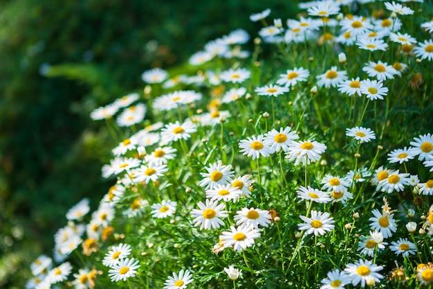 Белые приморские ромашки в саду весной. Premium Фотографии