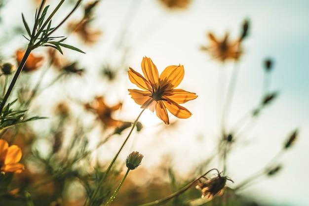 ビンテージスタイルの青い空と自然の庭の黄色い硫黄コスモスの花。 Premium写真