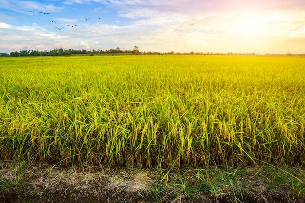 夕焼け空を背景に美しい緑のトウモロコシ畑 Premium写真