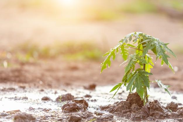 手は水のホースを保持し、庭の若いパパイヤの木を水 Premium写真