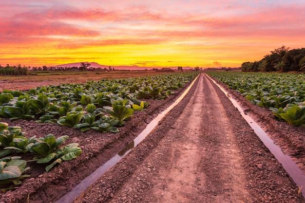 Взгляд молодого зеленого завода табака в поле Premium Фотографии