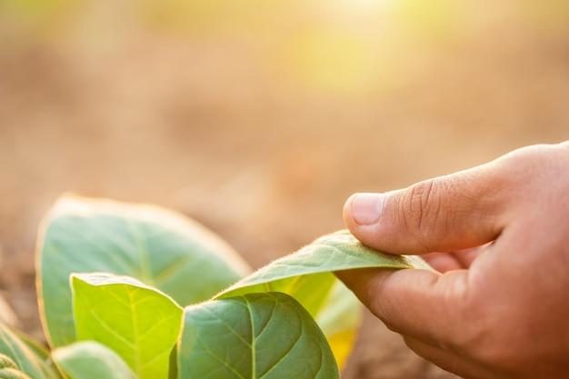 Рука агронома трогательно лист табачного растения Premium Фотографии