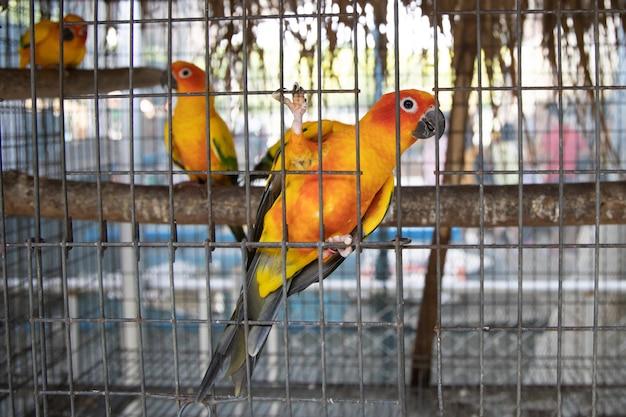 ケージの中の太陽コニュア鳥 Premium写真