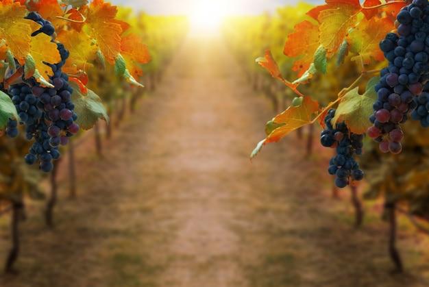 Виноград в винограднике пейзаж в трансильвании Premium Фотографии