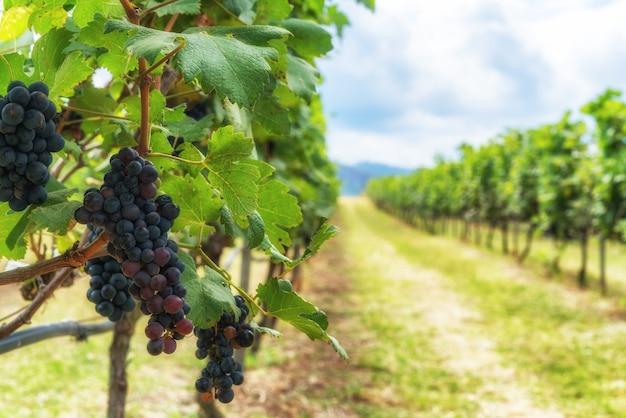 Виноградный и виноградный пейзаж во франции Premium Фотографии