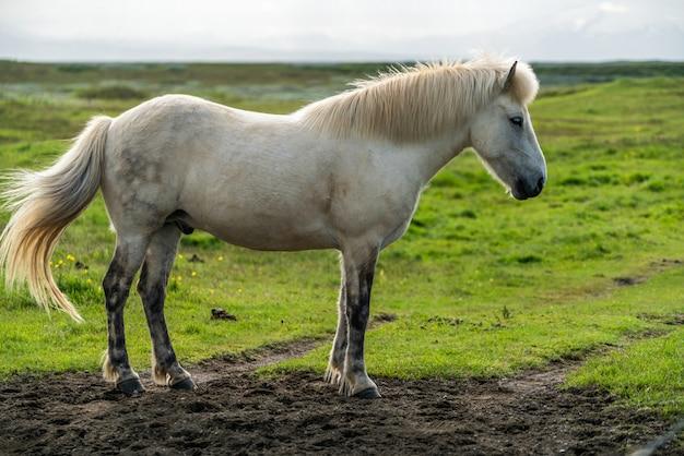 アイスランドの風光明媚な自然の中でアイスランドの馬。 Premium写真