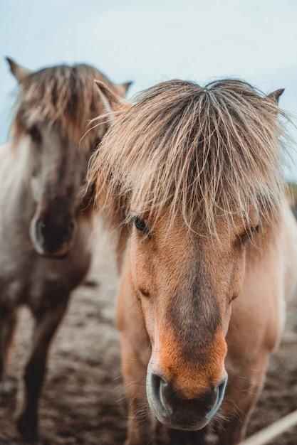 Исландская лошадь в живописной природе исландии. Premium Фотографии