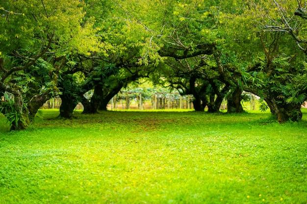 Японский абрикосовый сад. мягкий фокус. Premium Фотографии