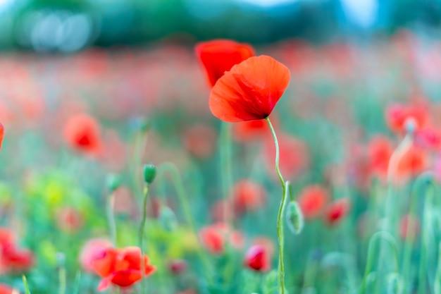 赤いケシ畑の赤いケシ Premium写真