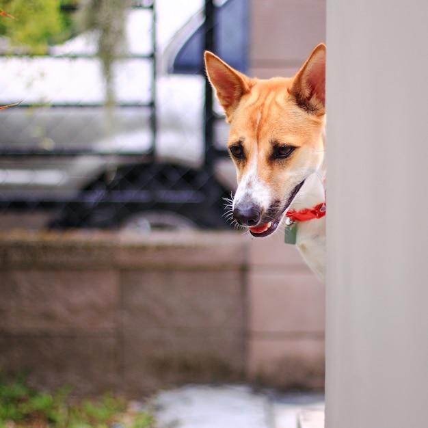 かわいい茶色と白い犬が家の壁から出て見えて懐疑的に見える Premium写真