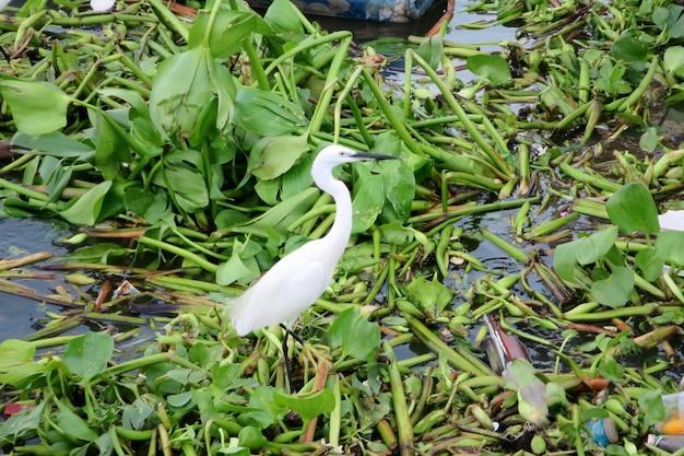コウノトリが川のヒヤシンスの上にいくつかのゴミと立っています。動物と環境のコンセプト Premium写真