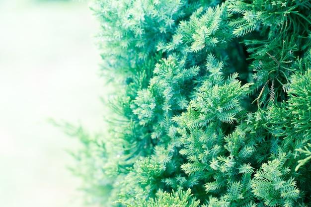松、エバーグリーンジュニアの背景。クリスマスと冬の壁紙 Premium写真