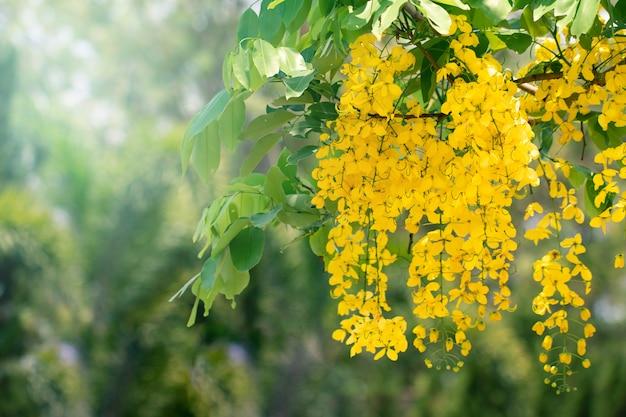カシア瘻花や自然の背景のコピースペースとゴールデンシャワーの花 Premium写真