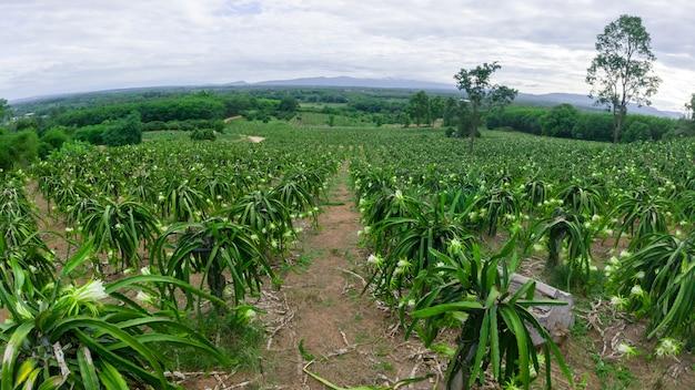 ドラゴンフルーツの花は夏に咲いています、開花中のピタハヤ畑の風景、ピタヤまたはピタハヤはアメリカ原産のいくつかのサボテン種の果実です。 Premium写真