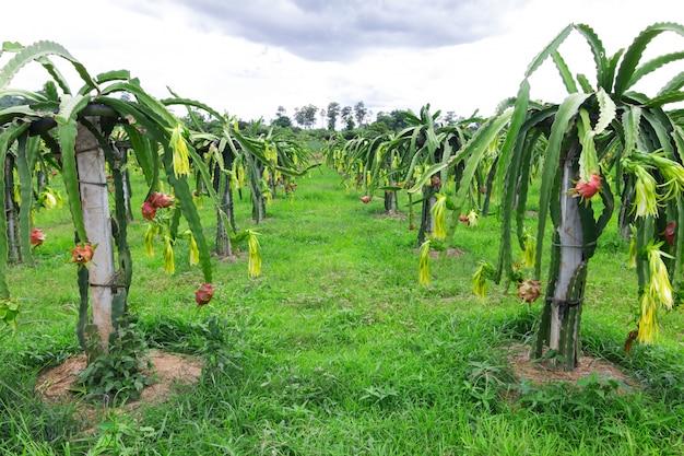 ドラゴンフルーツフィールドまたはピタハヤフィールドの風景、ピタヤまたはピタハヤは、アメリカに固有のいくつかのサボテン種の果実です。 Premium写真