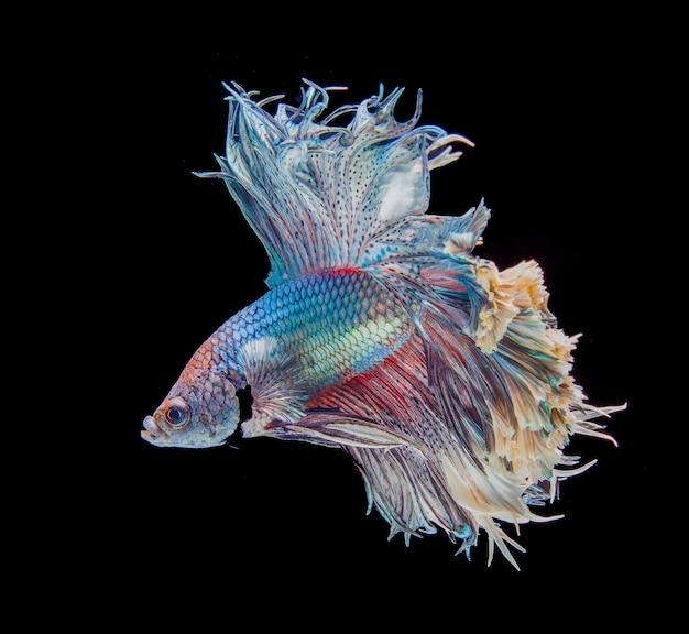 Бетта рыбы, сиамские боевые рыбы, изолированных на черном фоне Premium Фотографии