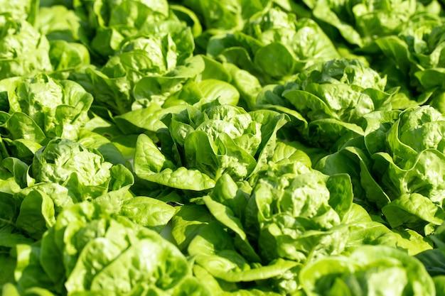 新鮮なバターヘッドレタスの葉、サラダ野菜水耕栽培農場 Premium写真