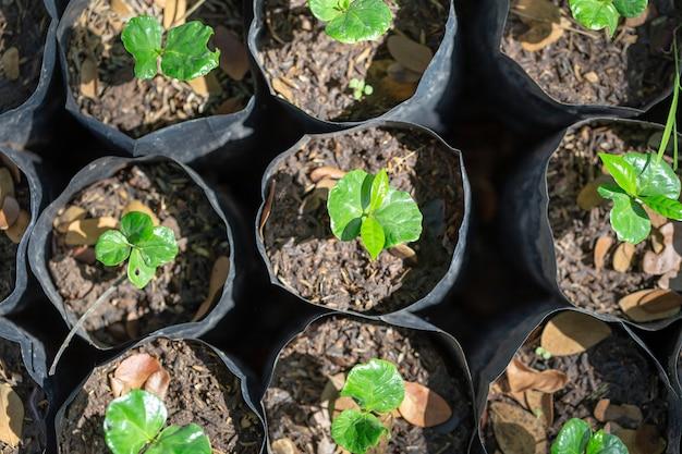 若いアラビカの木は農場で黒い袋で成長しています Premium写真