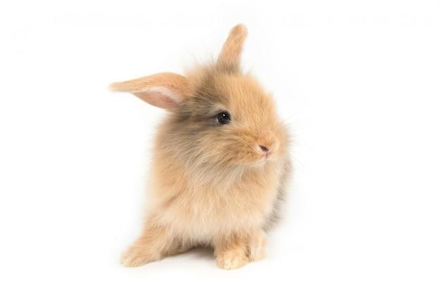 白地に茶色のかわいい赤ちゃんウサギ Premium写真