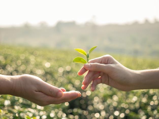 新鮮な茶葉を持っていると茶葉を与える手のクローズアップ Premium写真