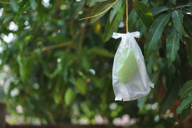 Незрелый манго, завернутый в полиэтиленовый пакет Premium Фотографии