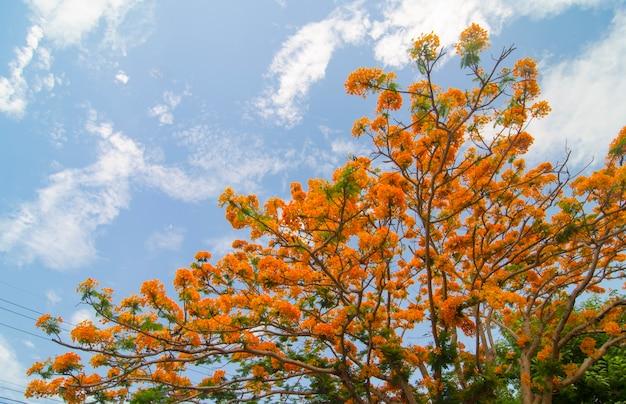 青空、タイと美しい孔雀の花 Premium写真