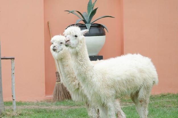 動物園のアルパカの肖像 Premium写真