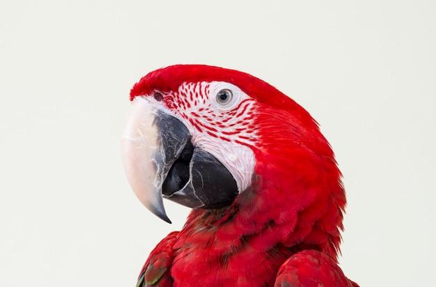 美しい赤いペットのオウム Premium写真