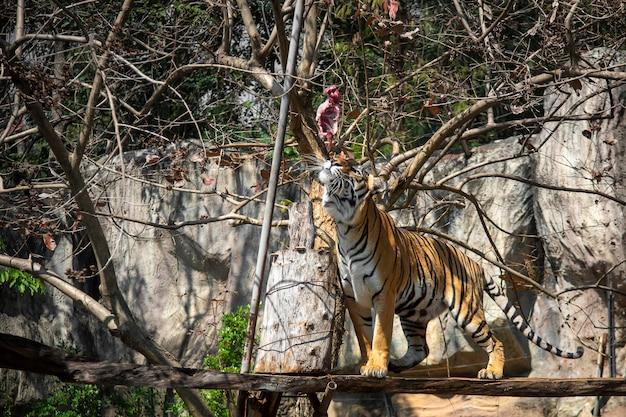 虎食べる、虎は動物園で食べ物探し行動を見せています Premium写真