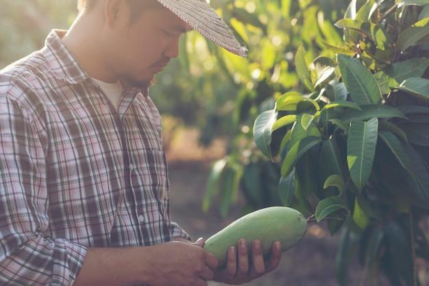 農家はマンゴーの品質をチェックしています Premium写真